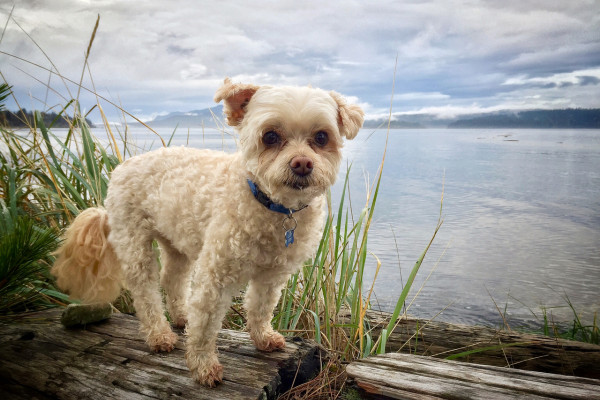 Small dog, Lucky, on a log at the beach in Campbell River